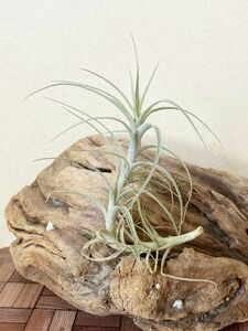 【Frontier Plants】チランジア・インカルナータ T. incarnata エアープランツ ブロメリア