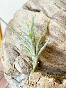 【Frontier Plants】チランジア・カピラリス・ジャイアントフォーム T. capillaris Giant Form エアープランツ ブロメリア