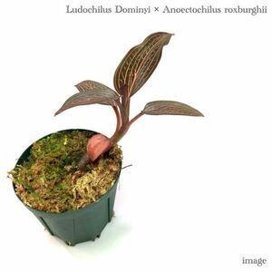 ルドキルス ドミニィ × アネクトキルス ロクスバーギー 2寸 (ジュエルオーキッド Ludochilus Dominyi × Anoectochilus roxburghii)
