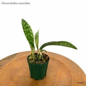 オエセオクラデス マクラータ (洋ラン 蛇皮蘭 Oeceoclades maculata)