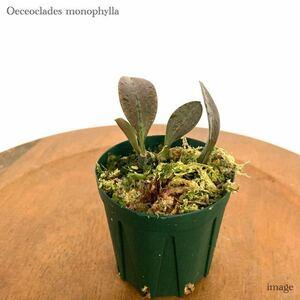 オエセオクラデス モノフィラ (洋ラン 蛇皮蘭 Oeceoclades monophylla)