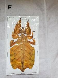 コノハムシ 標本 珍しい色