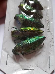 パプア産 タマムシ属 標本 5匹セット