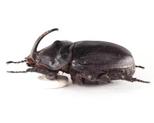 O.g.insulicola 12 ギガスサイカブト標本 マダガスカル