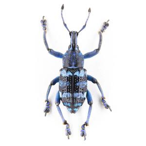 E. linnei 09 リンネホウセキゾウムシ標本 Kai Is.