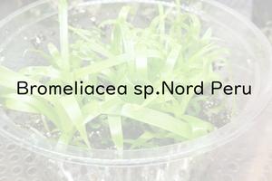 Bromeliaceae angustifolia ブロメリア 種子20粒 B-B12 パルダリウム