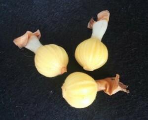 送料無料 斑入り げっとう キフゲットウ 黄斑 月桃 種子 1個(玉)金運アップ タネ 希少種?