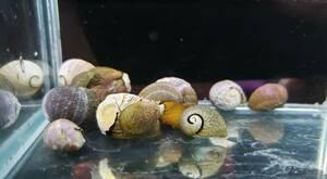 即決 10匹 イガカノコ貝 約1.5~2cm前後※九州地方、沖縄県、北海道には発送出来ません※