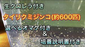 生クロレラ付きタイリクミジンコ(約600匹)!!!!!!選べるオマケ付き