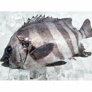 千葉県産 活〆イシダイ  1.5kg前後  1尾 石鯛