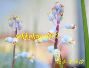 ★ 第四種可 世界の小型球根植物 ラケナリア ユニフォリア 1球 ★山野草 ラケナリア 多肉植物