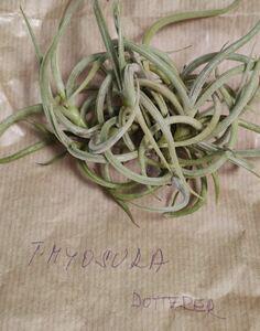 Tillandsia myosura f. Dotterer チランジア ミオスラ 欧州由来
