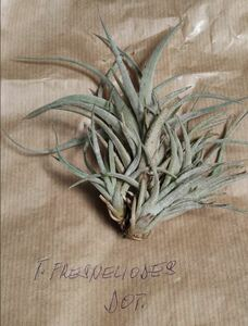 Tillandsia fresnilloensis f. Dotterer チランジア 欧州由来