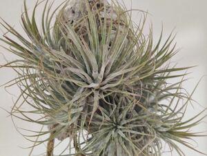 Tillandsia ionantha zebrina ex. TI チランジア イオナンタ ゼブリナ ゼブラ 自家産 絶版 終売