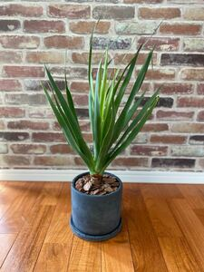観葉植物 Dracaena draco ドラセナ・ドラコ 竜血樹 6号陶器鉢付