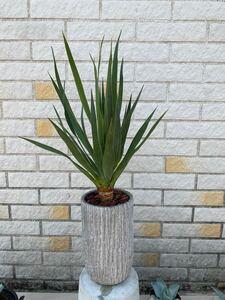 観葉植物 Dracaena draco ドラセナ・ドラコ 竜血樹 5号陶器鉢付