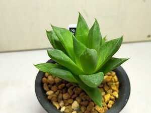 【多肉植物】【送料無料】ハオルチア属 'Haworthia ダルマ葉宝草斑抜け'その2 即決