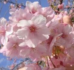 ★ 日本の春 桜 『河津桜』、『陽光桜』、『吉野桜』満開になると壮大です!! 底部から高さ約220センチ 3年生です。★