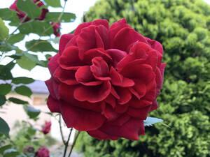 薔薇 ばら 挿し穂 2本 ビロード赤 ■送料無料(挿し木 庭園 低木)バラ ガーデニング 真っ赤 ばら 挿木用