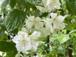 バイカウツギ 梅花空木 7本 ■送料無料 早い!クリックポスト(梅や桜の花に似た花)挿木 用 庭園木 低木 ガーデニング 華やか