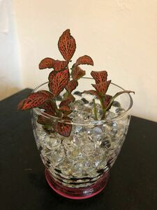 フィットニア 観葉植物 ジェルポリマー