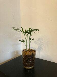 テーブルヤシ 観葉植物 ハイドロカルチャー