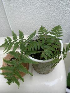 山野草 、庭のシダ、寄せ植えや苔玉に良いです、涼しげな夏の観葉植物