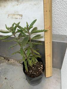 幸来花、こうらいか、カランコエ★チビ苗2本入3号ポット苗、子宝草、多肉植物