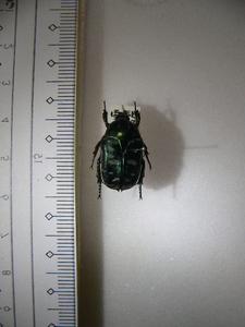 X3 コガネムシ・ハナムグリ類 フィリピン Sibuyan島産 標本 昆虫 甲虫