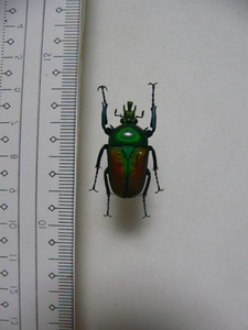 X13 コガネムシ・カナブン類 アフリカ・ザイール産 標本 昆虫 甲虫 標本 昆虫 甲虫