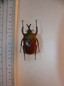 X15 コガネムシ・カナブン類♂ E.smithi berthrandi アフリカ・ウガンダ産 標本 昆虫 甲虫
