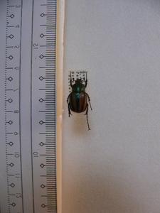 X29 コガネムシ・カナブン類 南アフリカ産 標本 昆虫 甲虫 標本 昆虫 甲虫