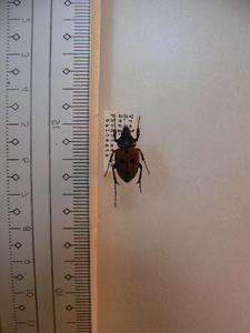X30 コガネムシ・カナブン類 南アフリカ産 標本 昆虫 甲虫 標本 昆虫 甲虫