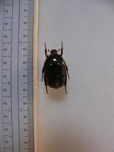 X33 コガネムシ・ハナムグリ類 リュウキュウオオハナ 奄美大島産 標本 昆虫 甲虫 標本 昆虫 甲虫