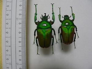 X12 大型コガネムシ・カナブン類♂♀ アフリカ・ザイール産 標本 昆虫 甲虫 標本 昆虫 甲虫