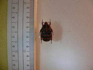 X19 コガネムシ・カナブン類 アフリカ・シエラレオネ産 標本 昆虫 甲虫 標本 昆虫 甲虫