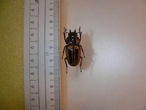 B8 クワガタムシ類 ジャワ島東部産 標本 昆虫 甲虫