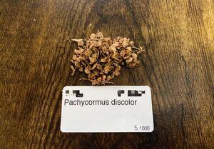 パキコルムス ディスカラー 象の木 種子20粒 検)コーデックス 塊根植物 実生 パキプス グラキリス 灌木