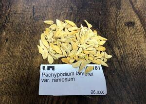 パキポディウム ラモスム 種子10粒 検)コーデックス 塊根植物 実生 パキプス グラキリス