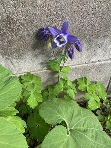 山野草 青紫色で中が白色のオダマキ ⑤ 種 30粒 自家採取