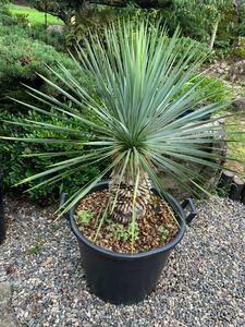 Yucca gardening garden