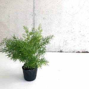 観葉植物 アスパラガス スプレンゲリー H30cm 3号ポット 5個セット