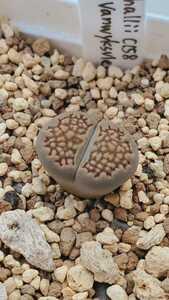 リトープス ハリー C158 種子15粒
