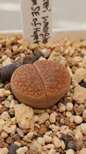 リトープス フーケリー v.マルギナータ C35 種子15粒