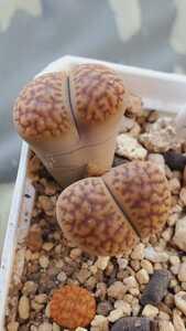 リトープス ブロムフィールディ C279 種子15粒