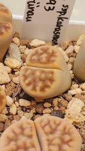 リトープス カラスモンタナ v.レリケアナ (朱弦玉) C193 種子15粒