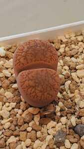 リトープス アウカンピアエ 日輪玉 L2-1, Brandkraal 種子15粒