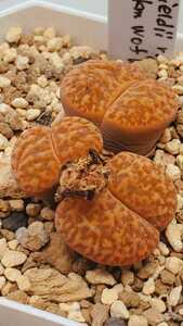 リトープス ブロムフィールディ v.グラウディナエ L2-96, 80 km W of Witsand 種子15粒