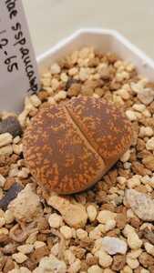 リトープス アウカンピアエ 日輪玉 L2-65, Rudesheim mountain 種子15粒