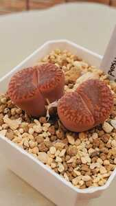 リトープス ブロムフィールディ v.グラウディナエ L2-97, S of Witsand 種子15粒